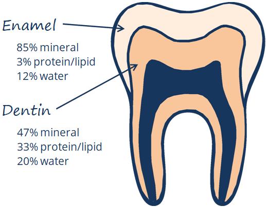Cross-section of a tooth showing enamel layer and dentin layer, with percent composition - enamel is 85 percent mineral, 3 percent protein/lipid, 12 percent water, while dentin is 47 percent mineral, 33 percent protein/lipid, and 20 percent water.