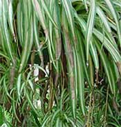 Picute of a spider plant with brown leaf tips due to fluoride in water
