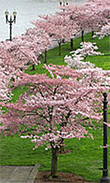 Blossoming cherry trees in Tom McCall Waterfront Park in Portland Oregon